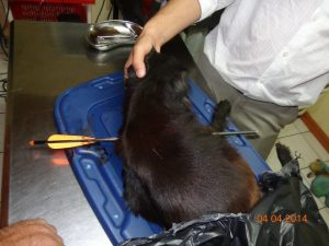 Perrito-herido-con-flecha1