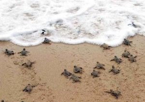liberacion-tortugas-marinas