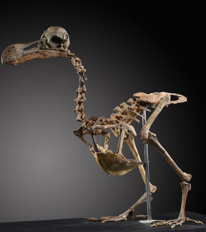 Subastarán una raro esqueleto de un pájaro dodo