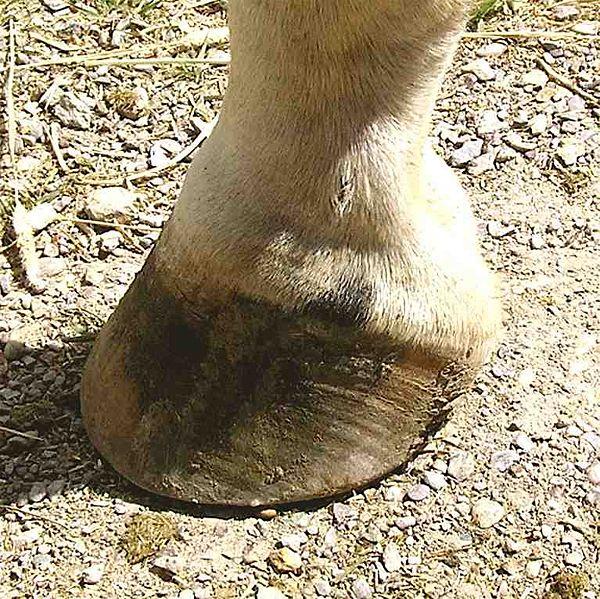 pezuña-caballo-pie-persiodactilo