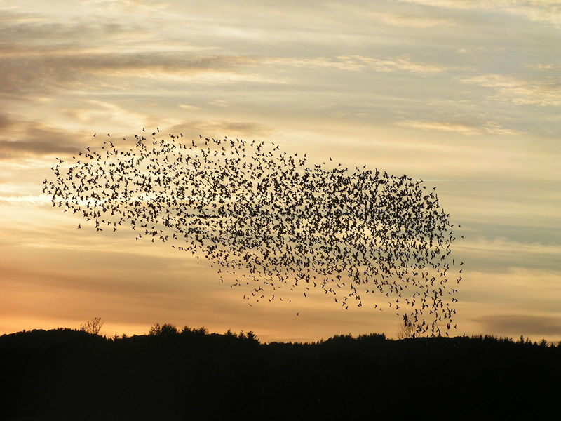 drunk-starlings-cause-chaos-on-austrian-highway