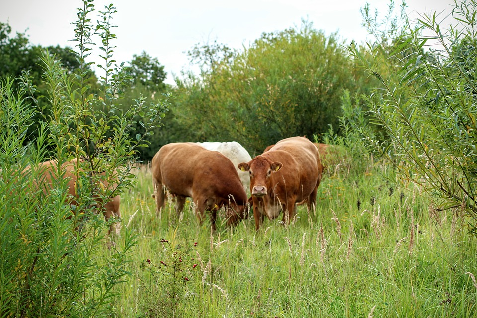 cattle-1662113_960_720