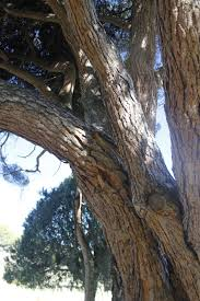 Diriomeño muere al caer sobre su cabeza frondosa rama de un árbol