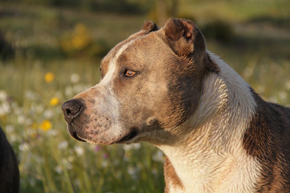 pitbull-animal