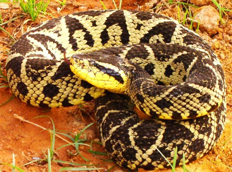 serpiente-barba-amarilla