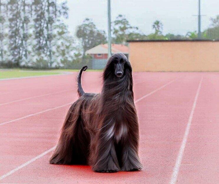 este-perro-ha-sido-elegido-como-el-mas-bello-del-mundo-3