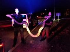 Un policía estadounidense logró capturar una enorme pitón sólo con sus manos