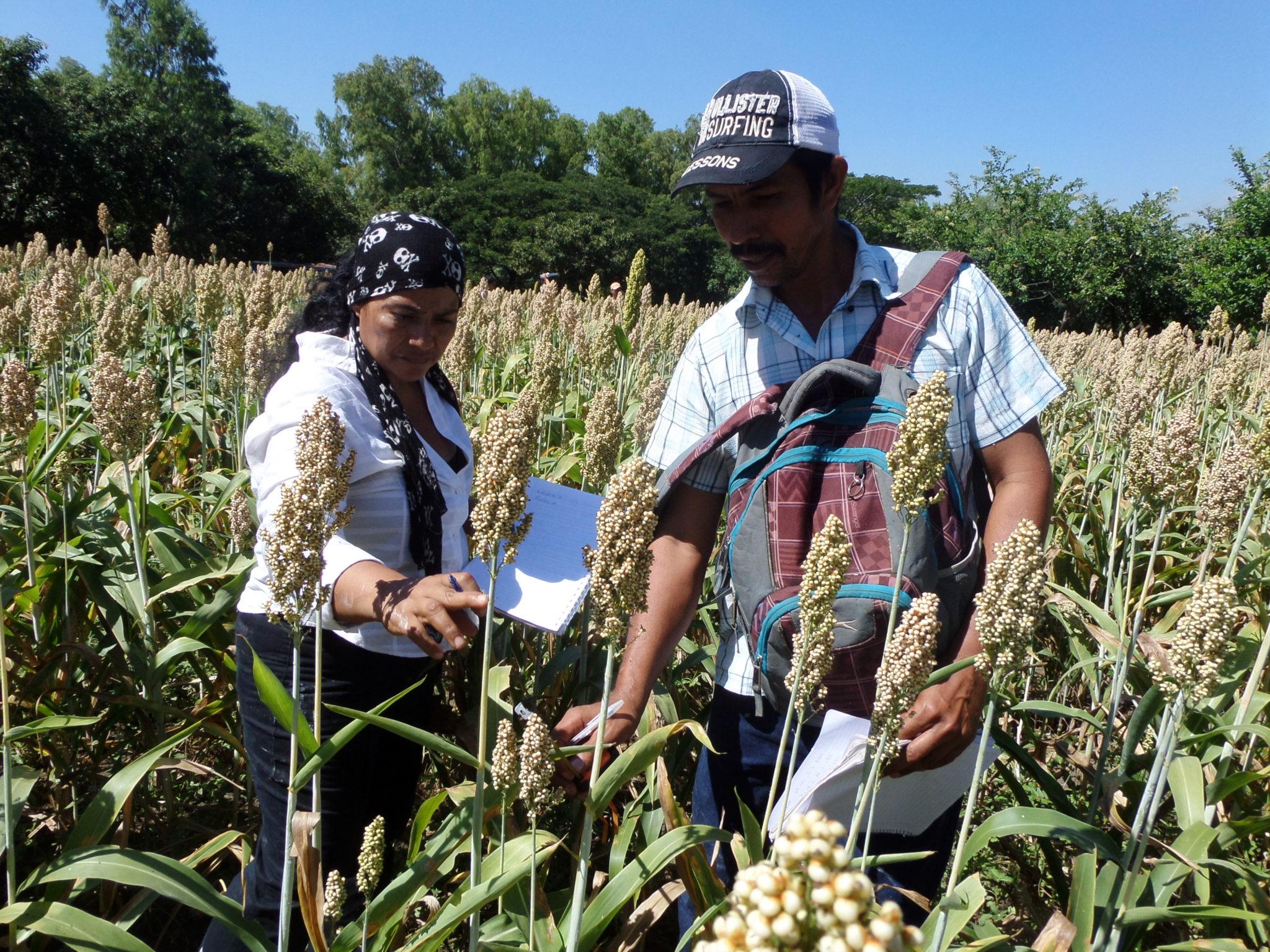 Productor de Sorgo en Nicaragua