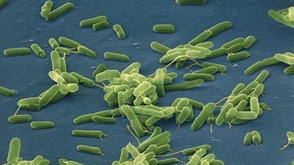 La bacteria Vibrio vulnificus