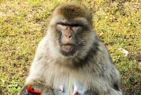 Fotografía de macaco rhesus