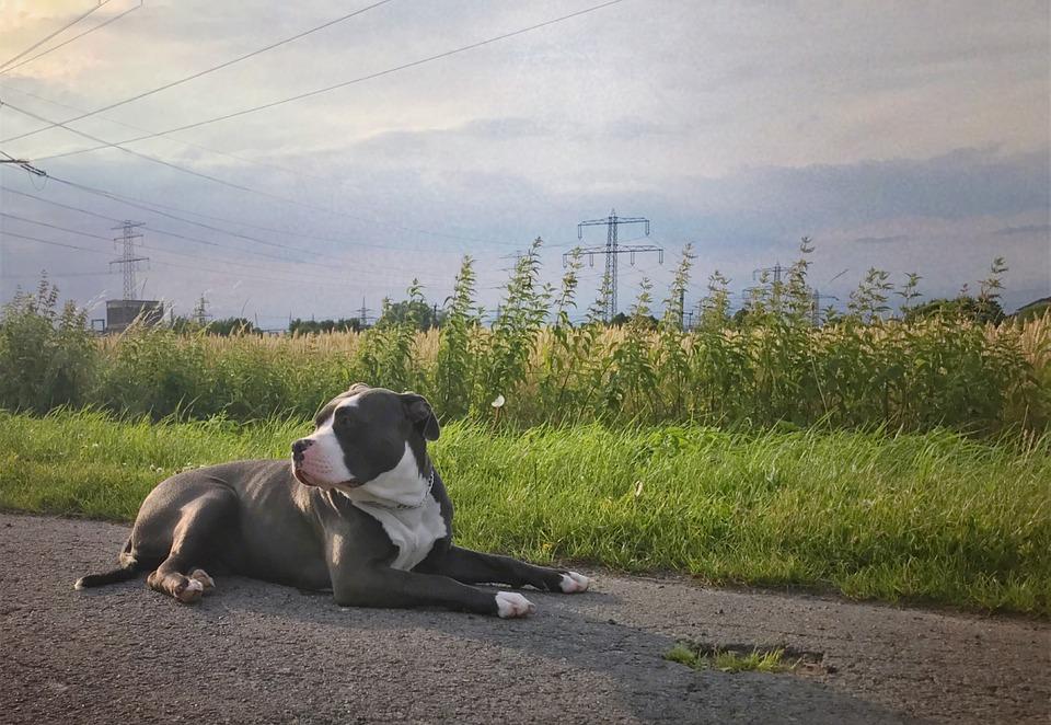 Un perro de la raza American Bully