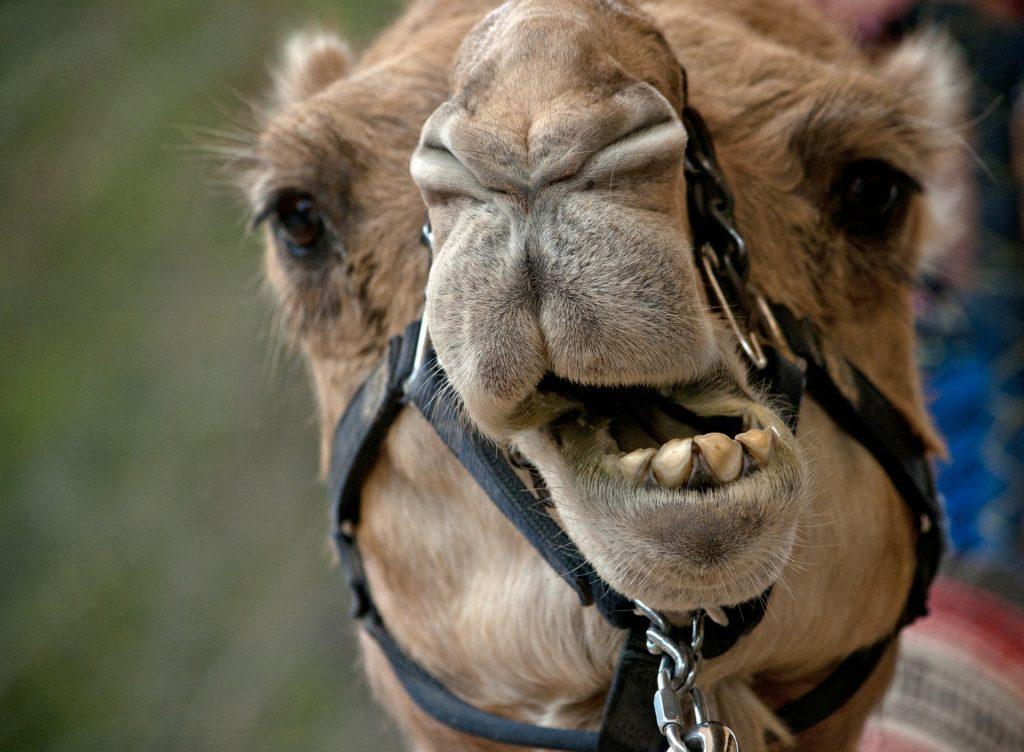 Estadounidense muerde los testículos de un camello
