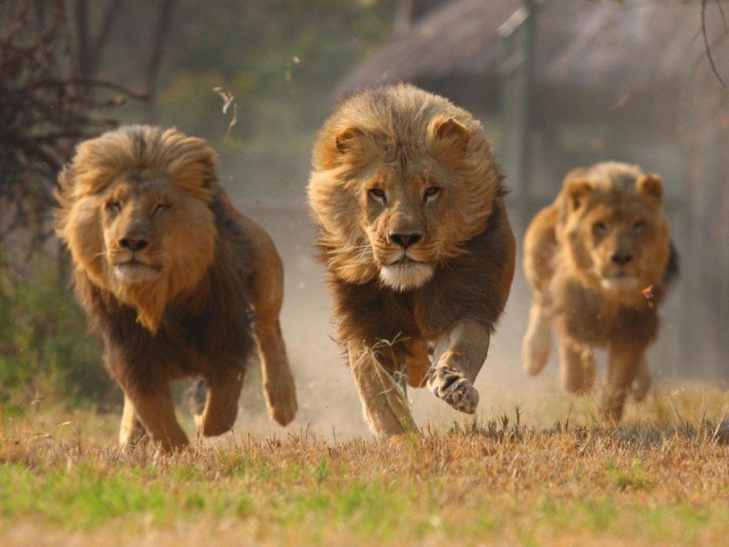 Descuartizan a leones para ritual de magia negra