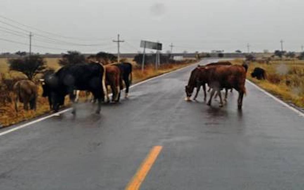 Semovientes encontrados vagando serán llevados al zoológico para alimentar a los carnívoros en Chontales