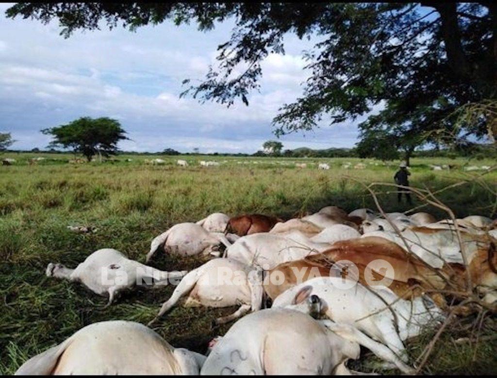 60 vacas murieron impactadas por un rayo en Chontales
