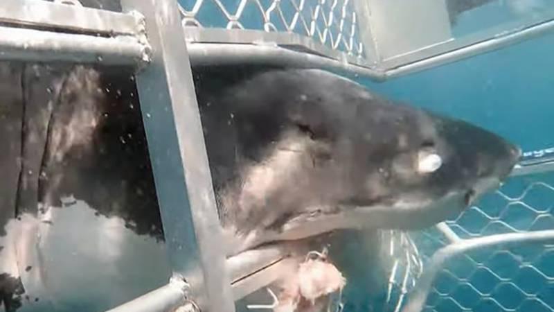 tiburón blanco jaula de buceo Australia