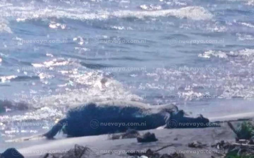 """El cuerpo del caballo """"El Chele"""" fue rescatado por sus propios dueños en el Lago Cocibolca"""
