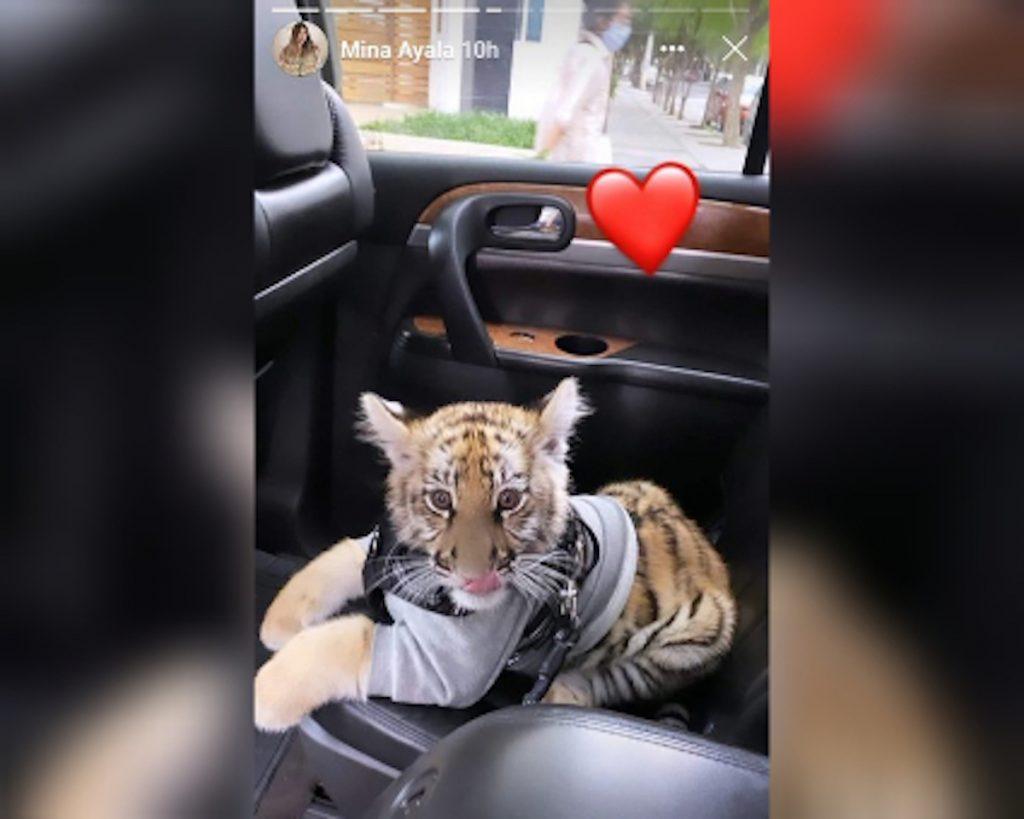 La fémina aseguró que compró el tigre de forma legal
