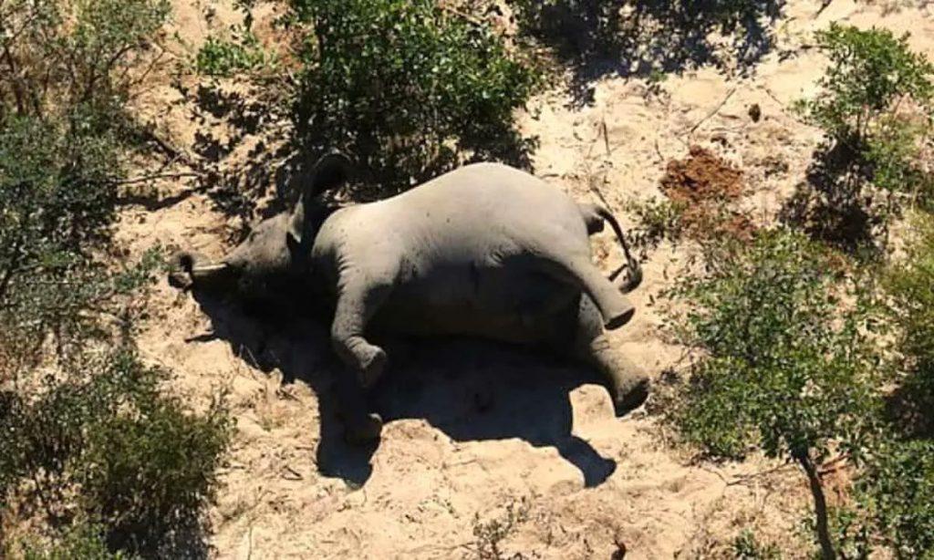 Resuelven misterio de cientos de elefantes muertos en Botsuana