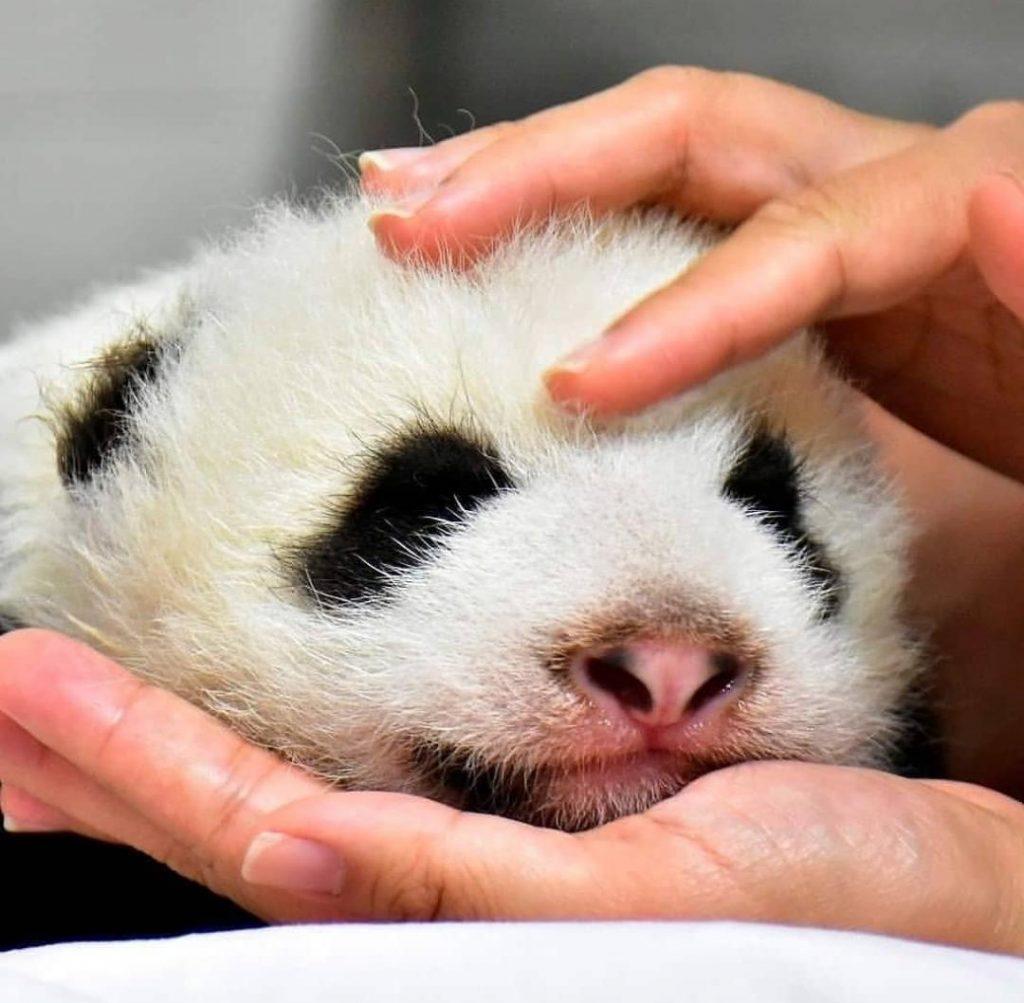 Rou Rou el nuevo inquilino del zoológico de Taipei