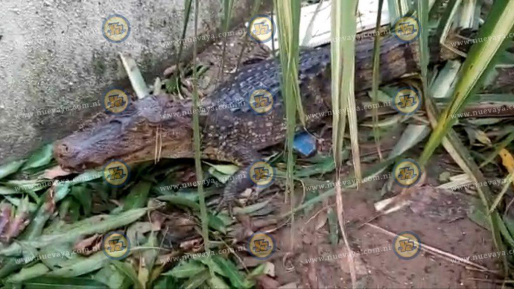 Encuentran caimán en los terrenos del complejo judicial de Bilwi tras paso del huracán Iota
