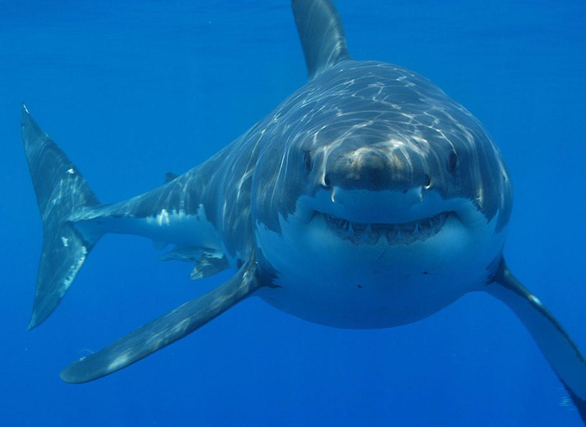 Fotografía de un enorme tiburón blanco en Sudáfrica